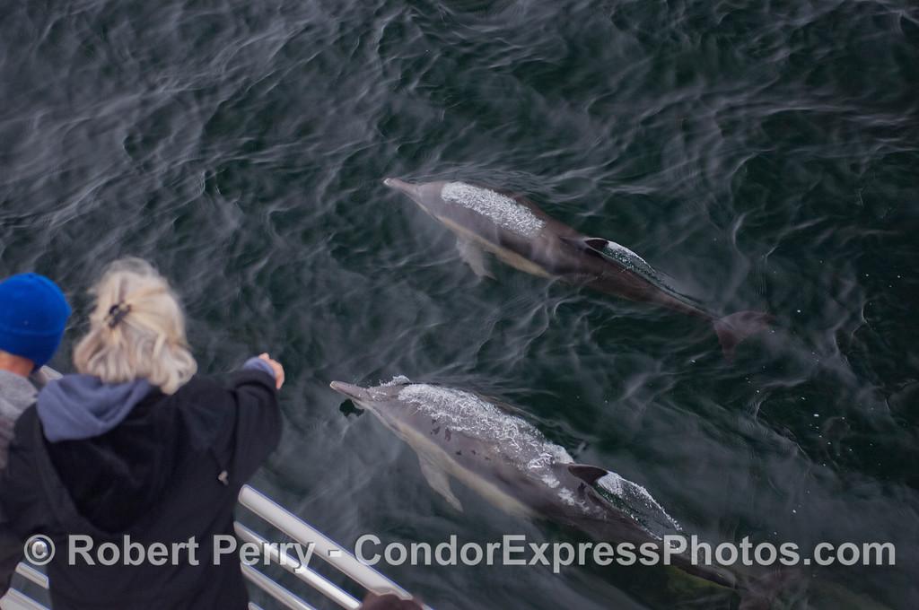 Long-Beaked Common Dolphins (<em>Delphinus capensis</em>) visit the Condor Express.
