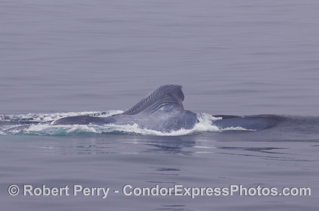 The wide open mouth of a giant Blue Whale feeding on krill.  The animal is on its right side, the upper jaw and baleen are to the right near the water.  the lower jaw and expanded ventral grooves are to the right, and upward.