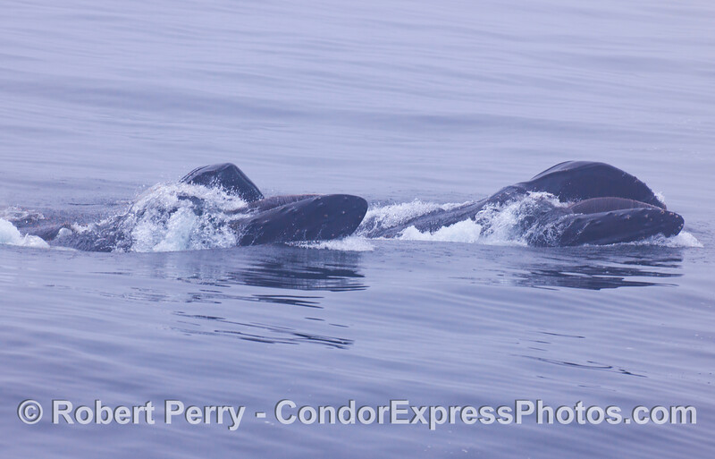 Two lunge feeding, almost upside down, humpbacks.