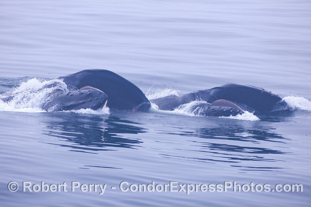 Looking directly into the lower mouth of two humpbacks feeding side by side.  Krill is visible on the surface.