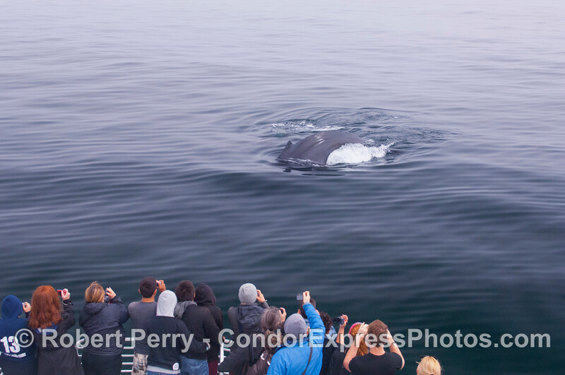 A Humpback Whale comes over to the Condor Express to the delight of our guests.