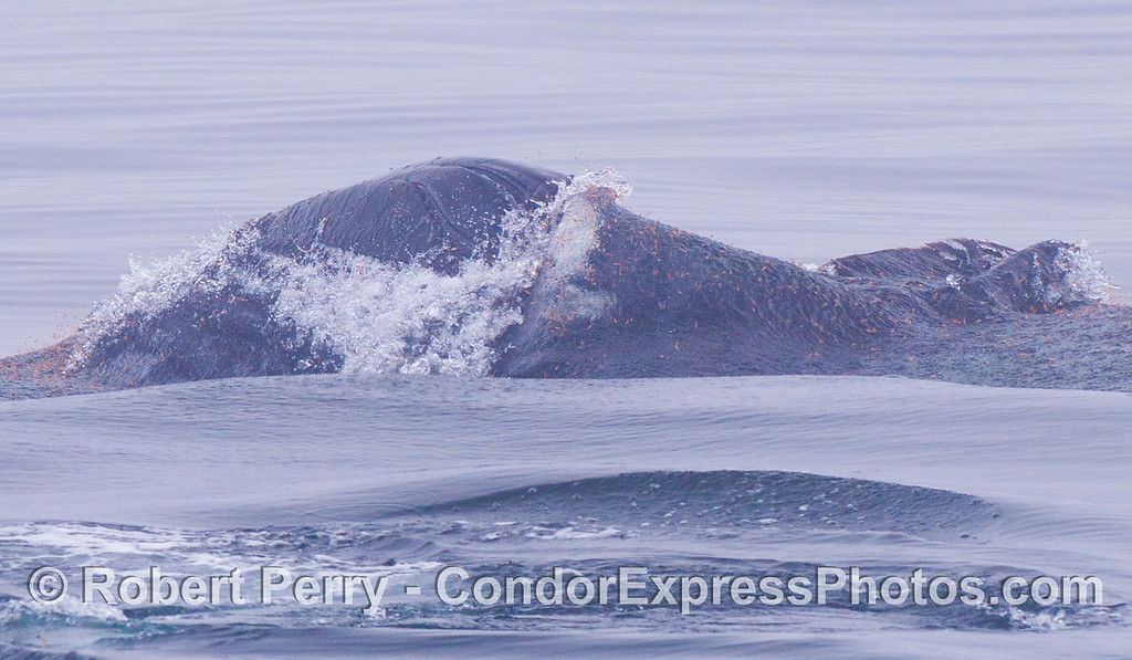 Lots of red krill spll out of and around the mouth of a Humpback Whale.
