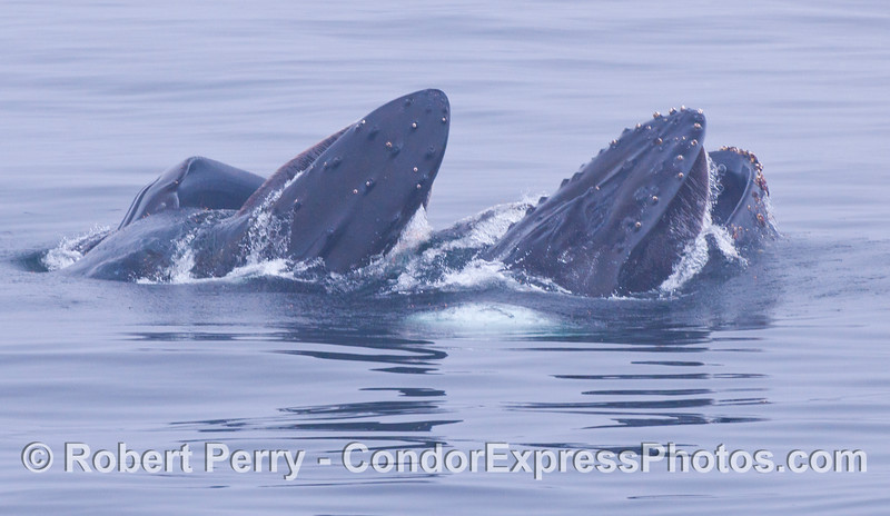 Two humpbacks lunge feeding side by side.
