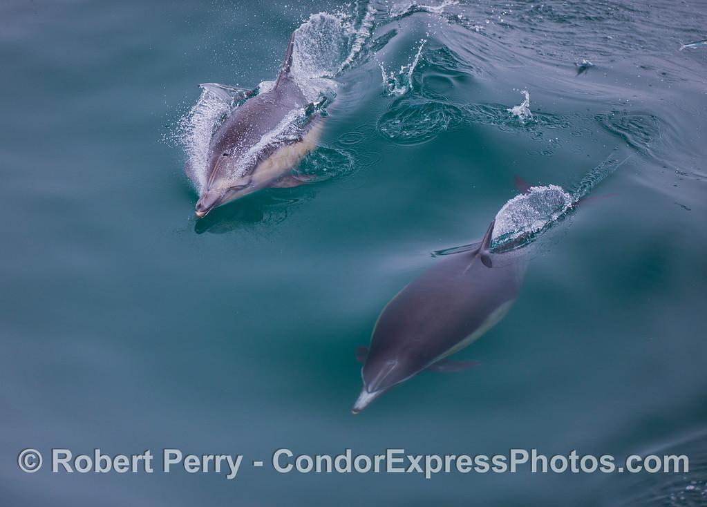 Common Dolphins (<em>Delphinus</em> sp.).