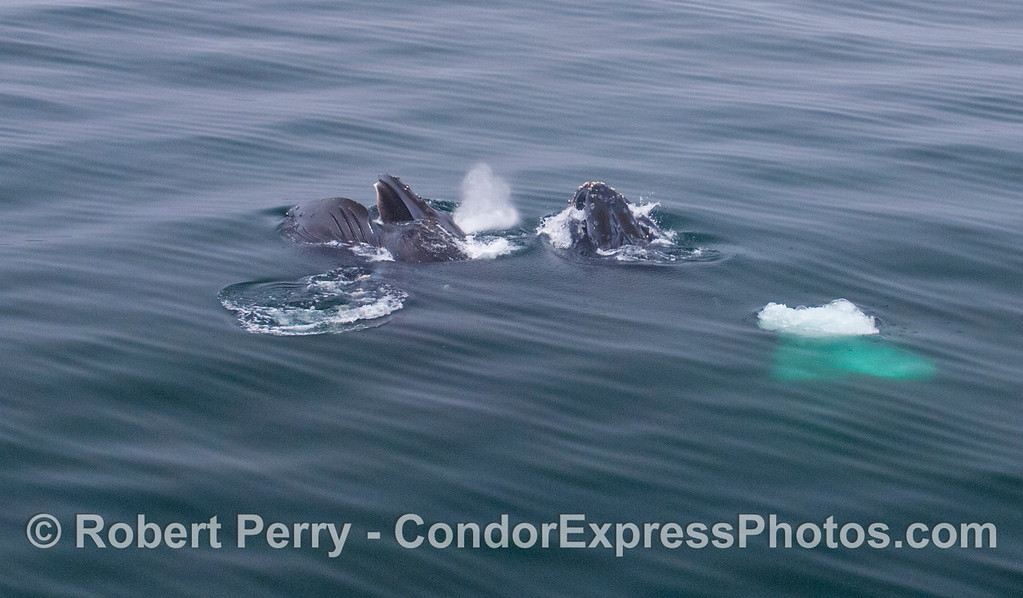 Image 1 of 2:  A wide angle view of two Humpback Whales lunge feeding.
