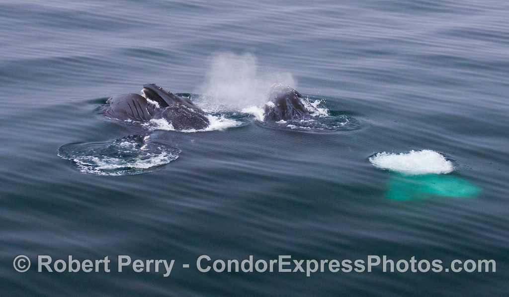 Image 2 of 2: A wide angle view of two Humpback Whales lunge feeding.