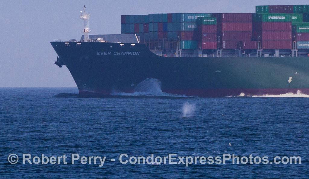 Megaptera novaeangliae & container ship Ever Champion 2012 05-28 SB Channel-c-006