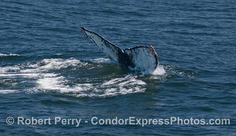 Megaptera novaeangliae tail fluke 2012 05-28 SB Channel-014