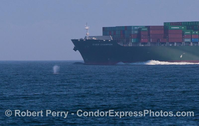 Megaptera novaeangliae & container ship Ever Champion 2012 05-28 SB Channel-c-022