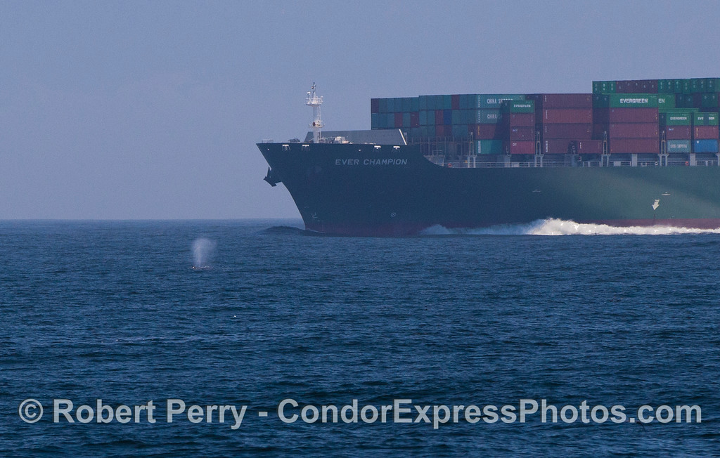 Megaptera novaeangliae & container ship Ever Champion 2012 05-28 SB Channel-c-022