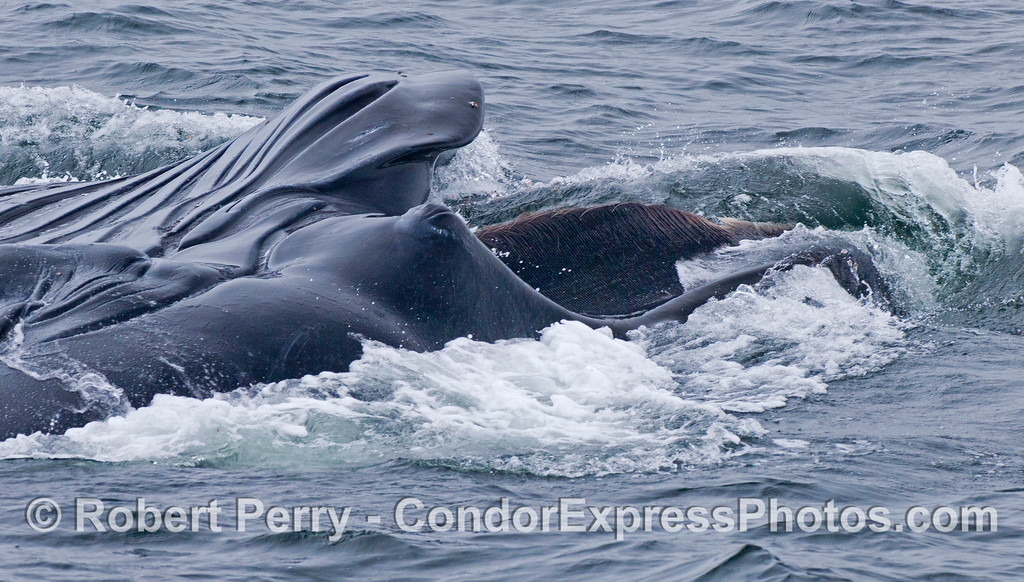 Megaptera novaeangliae lunge feeding baleen 2012 06-02 SB Channel-b-029