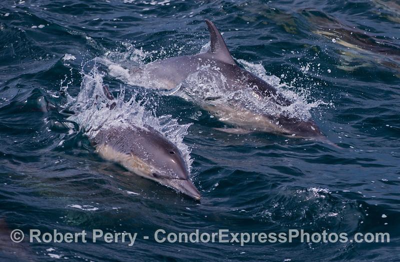Delphinus capensis 2012 06-02 SB Channel-070