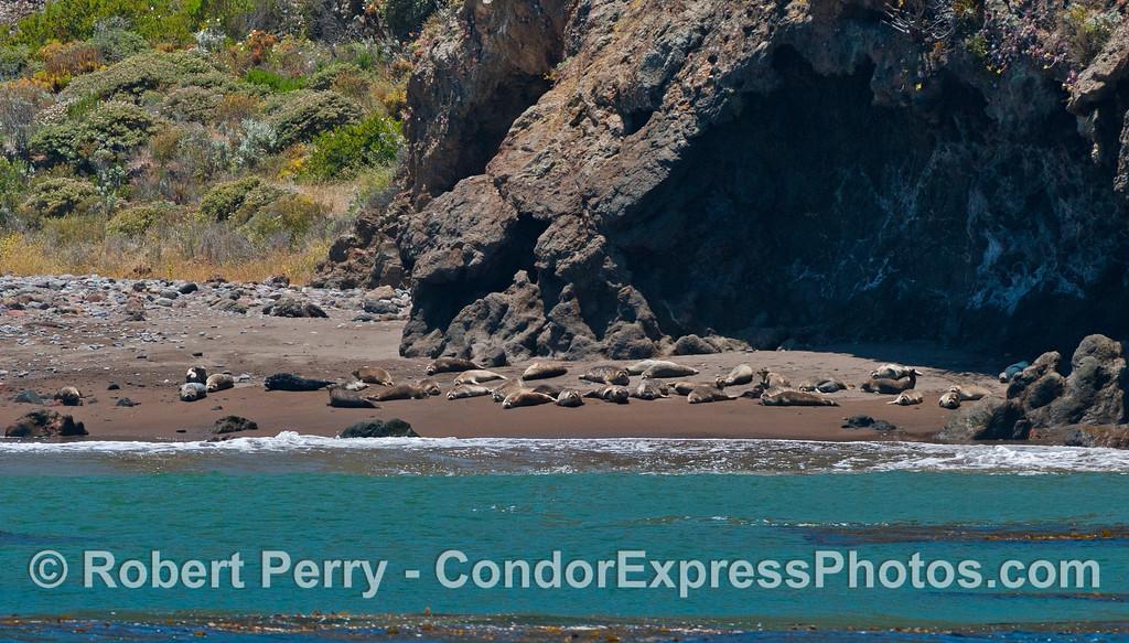 Phoca vitulina group on beach 2012 06-02 Sta Cruz Island-008