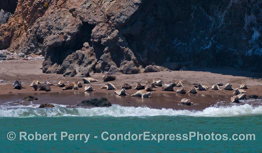 Phoca vitulina group on beach 2012 06-02 Sta Cruz Island-028