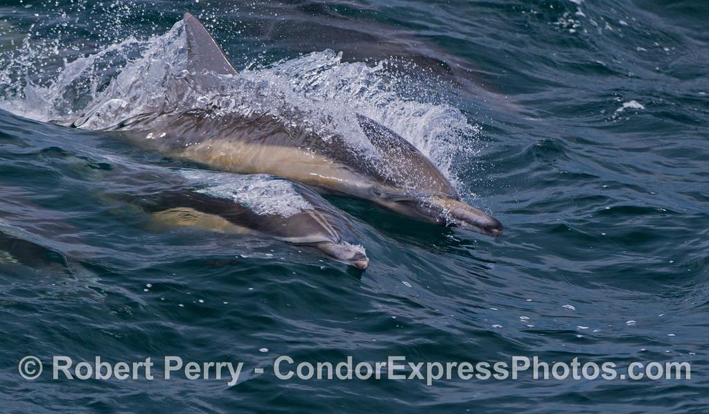 Delphinus capensis 2012 06-02 SB Channel-083