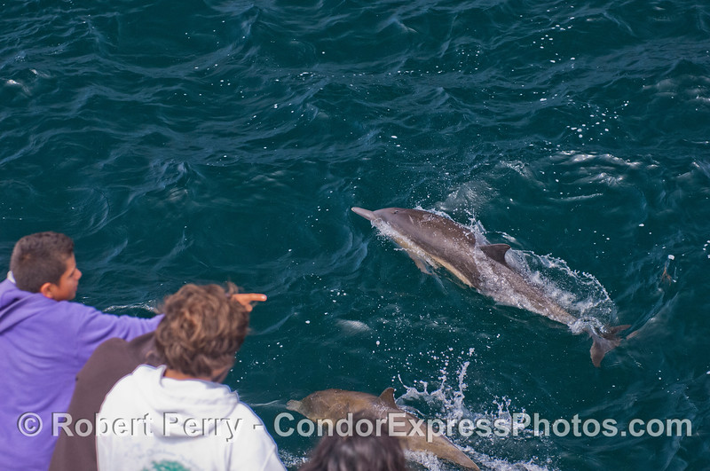 Delphinus capensis 2012 06-02 SB Channel-a-062