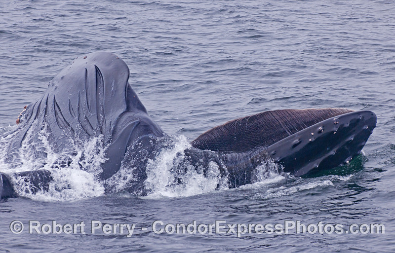 Megaptera novaeangliae lunge feeding baleen 2012 06-02 SB Channel-b-027