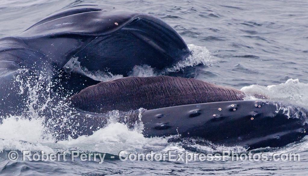 Megaptera novaeangliae lunge feeding baleen 2012 06-02 SB Channel-b-035