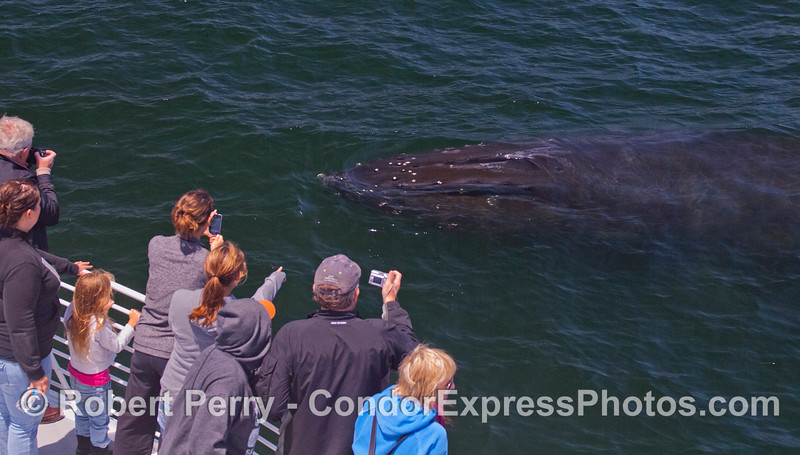 "Guests enjoy a ""Kodak moment"" as a friendly Humpback Whale (<em>Megaptera novaeangliae</em>) comes close and takes a good look at the Condor Express in the Santa Barbara Channel."