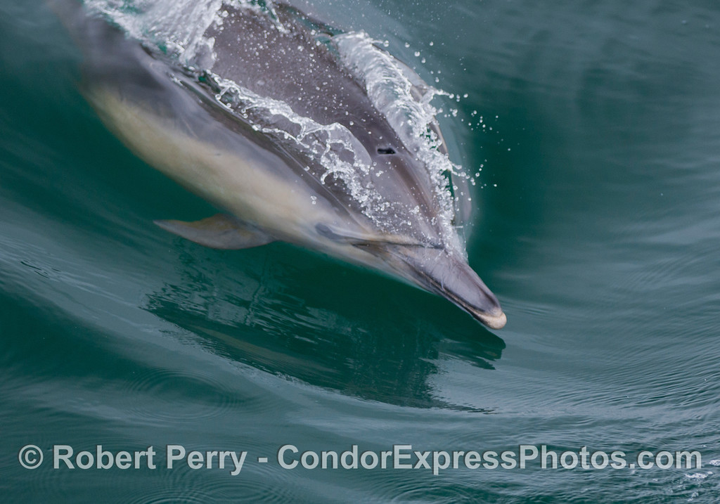 A Long-beaked Common Dolphin (<em>Delphinus capensis</em>) glides along riding the waves.