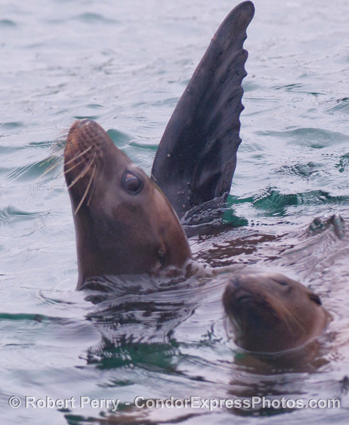 California Sea Lions (<em>Zalophus californianus</em>) rafting on the surface....and one keeps an eye out for intruders.