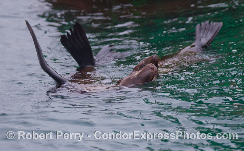 Two pals rafting on the surface: California Sea Lions (<em>Zalophus californianus</em>).