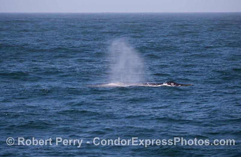A Humpback Whale (<em>Megaptera novaeangliae</em>) spouts in the wind on a fairly rough ocean surface.