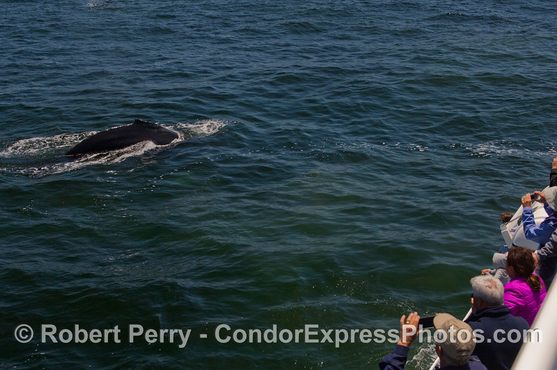 Another friendly Humpback Whale (<em>Megaptera novaeangliae</em>).