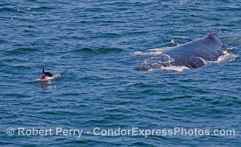 Curious California Sea Lions (<em>Zalophus californianus</em>) often pester Humpback Whales (<em>Megaptera novaeangliae</em>).