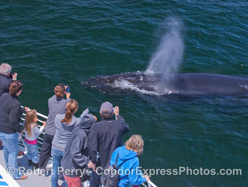 An extremely friendly Humpback Whale (<em>Megaptera novaeangliae</em>) pays a visit to the Condor Express crew and spouts.