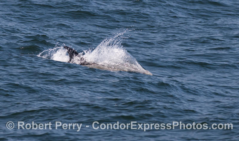 Closer look at a Risso's Dolphin (<em>Grampus griseus</em>) riding an an ocean swell.