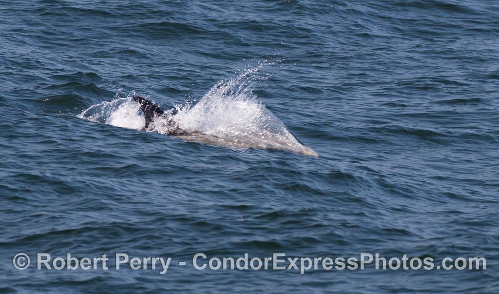 Closer look at a Risso's Dolphin (<em>Grampus griseus</em>) riding an an ocean swell.