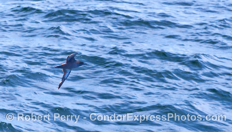 "A Sooty Shearwater (<em>Puffinus griseus</em>) ""shears the water"" with its flight."