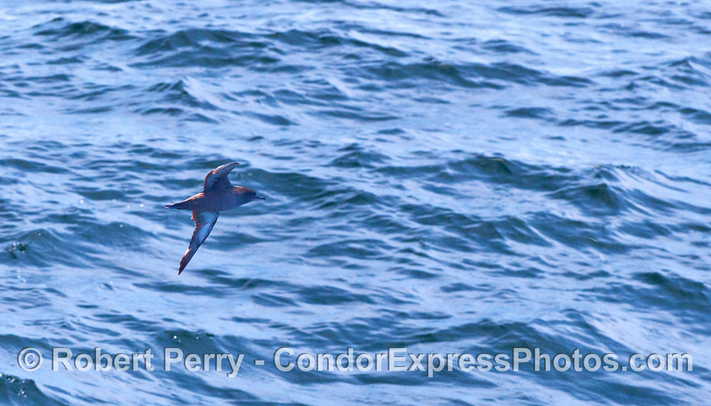 "A Sooty Shearwater (Puffinus griseus) ""shears the water"" with its flight."