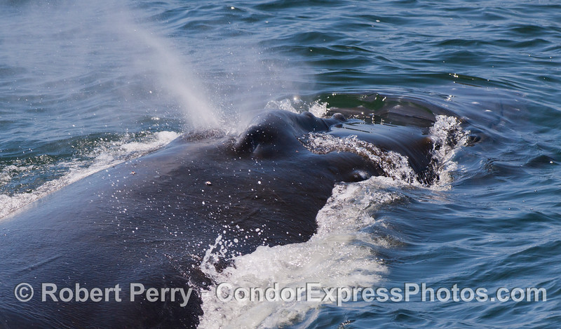 Another look into the nostrils of the Humpback Whale (<em>Megaptera novaeangliae</em>).