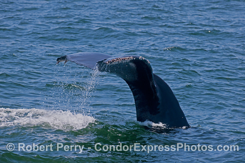 Humpback Whale (<em>Megaptera novaeangliae</em>) tail fluke waterfall.