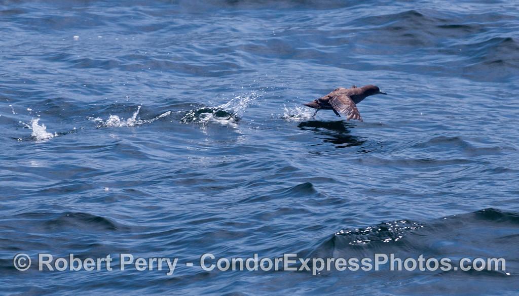 A Sooty Shearwater (<em>Puffinus griseus</em>) taking off.
