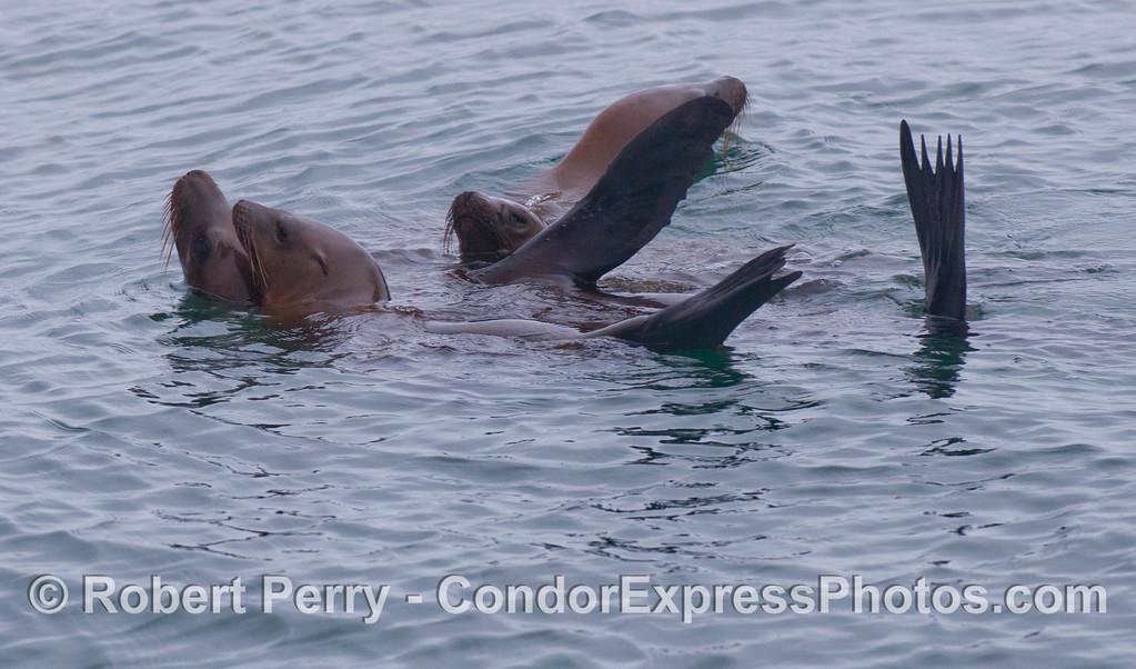 Three California Sea Lions (<em>Zalophus californianus</em>) rafting on the surface.