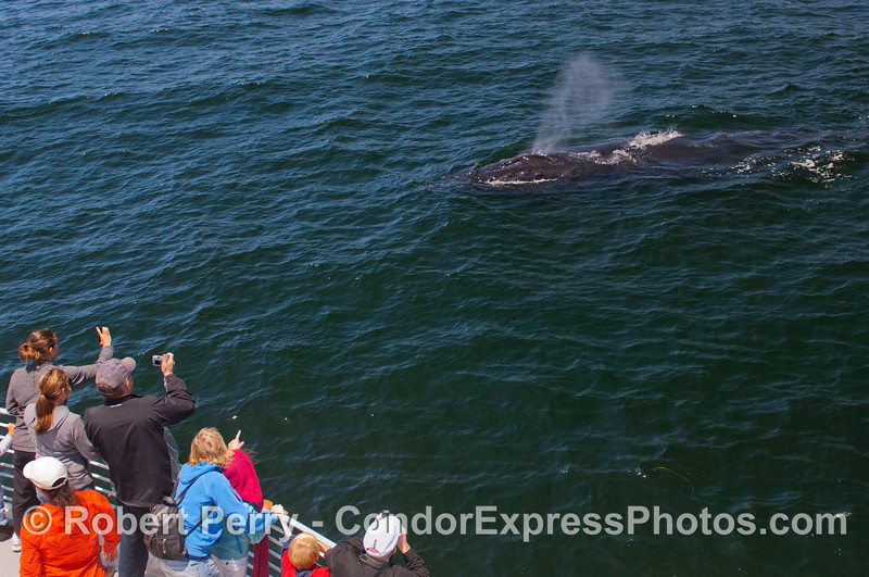 Another spouting beast comes over to the Condor Express...a friendly Humpback Whale (<em>Megaptera novaeangliae</em>).