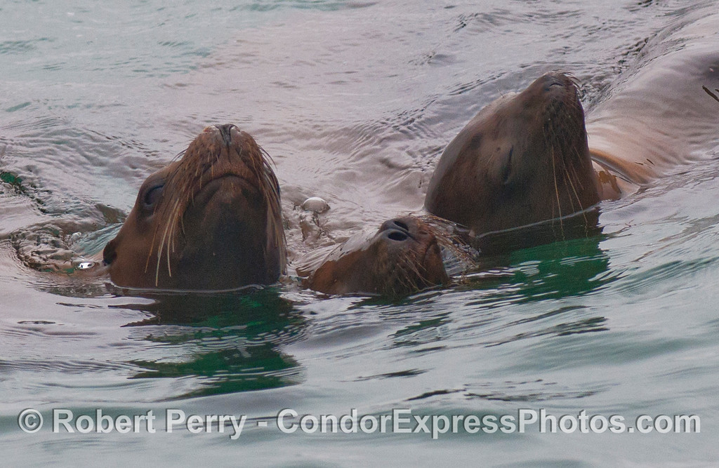 Three affectionate California Sea Lion (<em>Zalophus californianus</em>) pups at ease in the water.