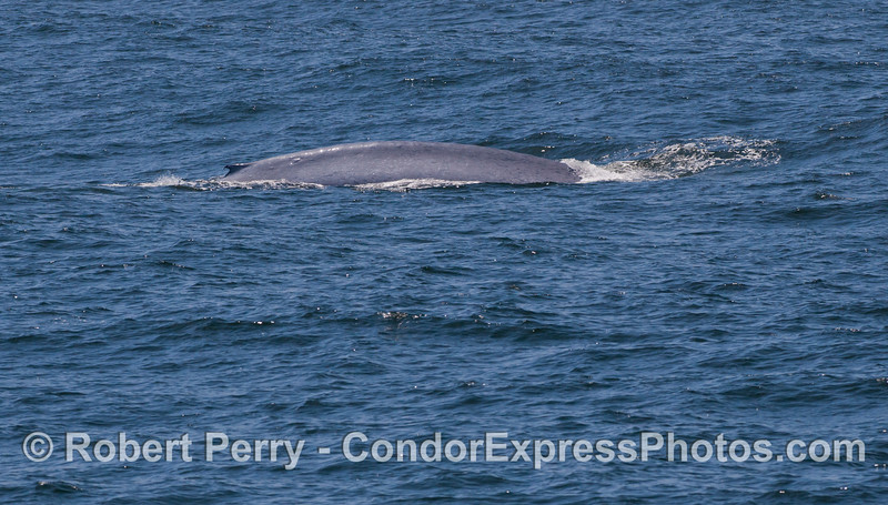 Flanks and dorsal fine of a giant Blue Whale (<em>Balaenoptera musculus</em>).