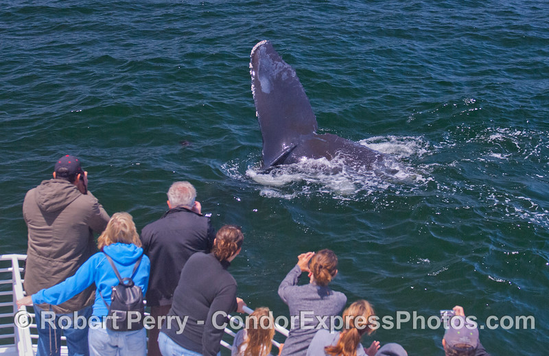 This time the friendly Humpback Whale (<em>Megaptera novaeangliae</em>) decided to take a dive right under the boat to the delight of the passengers who caught a glimpse of its massive tail close up and personal.