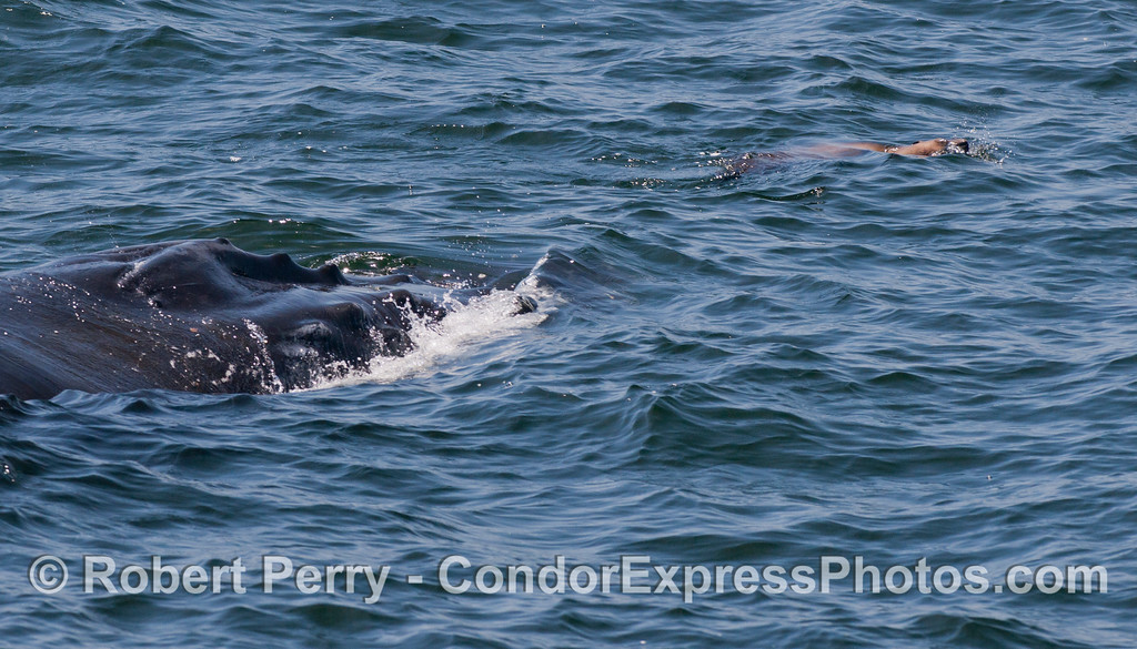 Here we see a California Sea Lion (<em>Zalophus californianus</em>) tormenting a Humpback Whale (<em>Megaptera novaeangliae</em>)...sea lions are relentless in their pursuit of having fun.