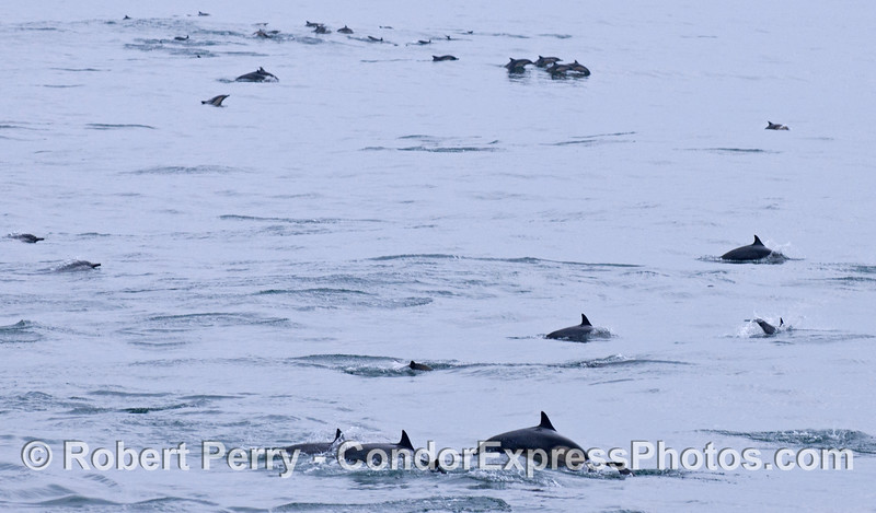 The leading edge of a megapod of Long-beaked Common Dolphins (<em>Delphinus capensis</em>).