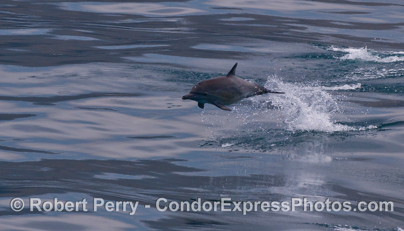 A leaping long-beaked Common Dolphin (<em>Delphinus capensis</em>).