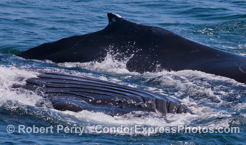 Two Humpback Whales (<em>Megaptera novaeangliae</em>), one upside down with ventral grooves expanded during feeding.
