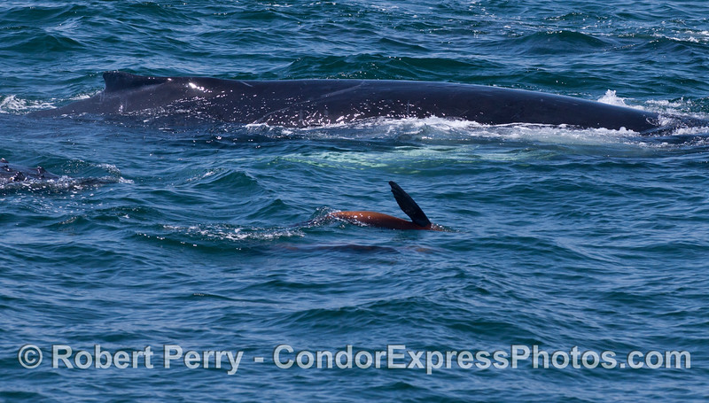 A California Sea Lion (<em>Zalophus californianus</em>) swims alongside a Humpback Whale (<em>Megaptera novaeangliae</em>).