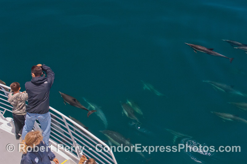Naturalist Laura joins the guests on board the Condor Express as they look at a pod of friendly long-beaked Common Dolphins (<em>Delphinus capensis</em>).