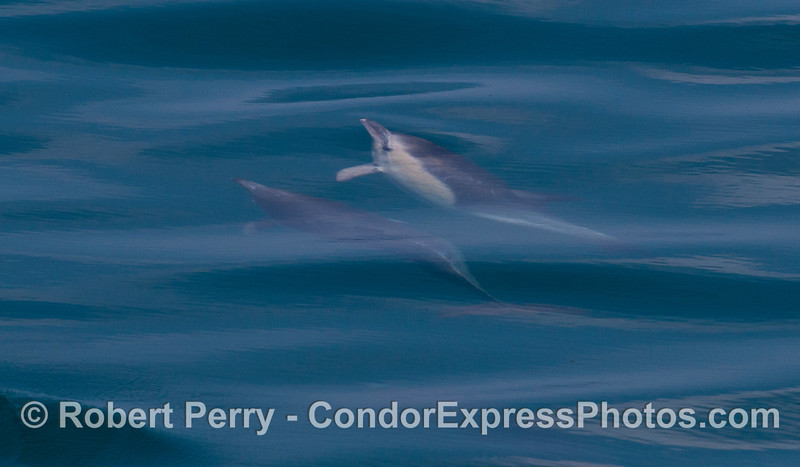 Two long-beaked Common Dolphins (<em>Delphinus capensis</em>) seen underwater.