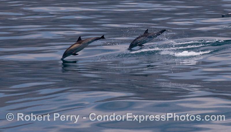 Leaping long-beaked Common Dolphins (<em>Delphinus capensis</em>).